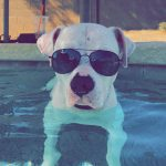 Baxter the Dog Chills by the Pool with Sunglasses