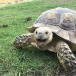 Chomper the Tortoise Snaps on the Grass