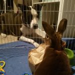 Payson the Dog Looks Lovingly at the Bunny Hershey