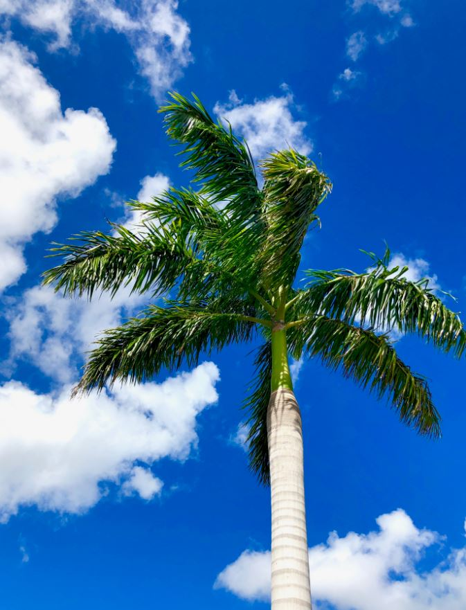 Palm tree against blue Florida sky