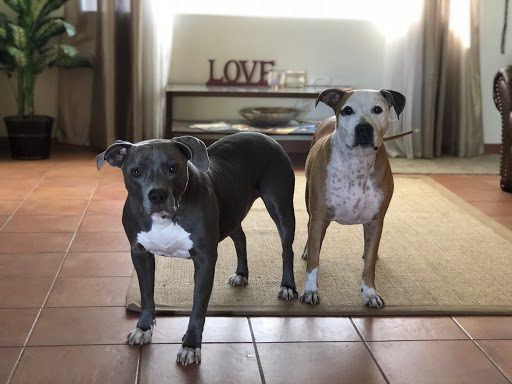 Pitbulls stare at camera in living room