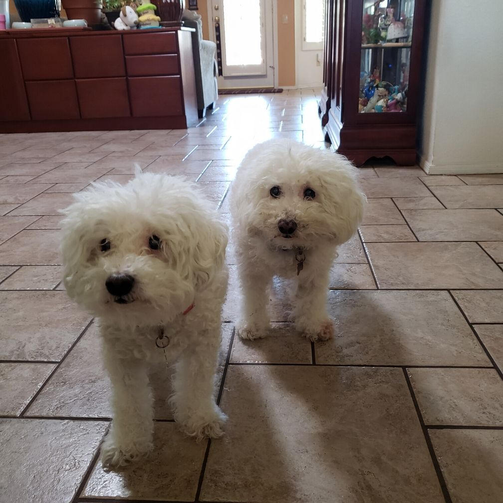 Bichon Frises hanging out in the kitchen