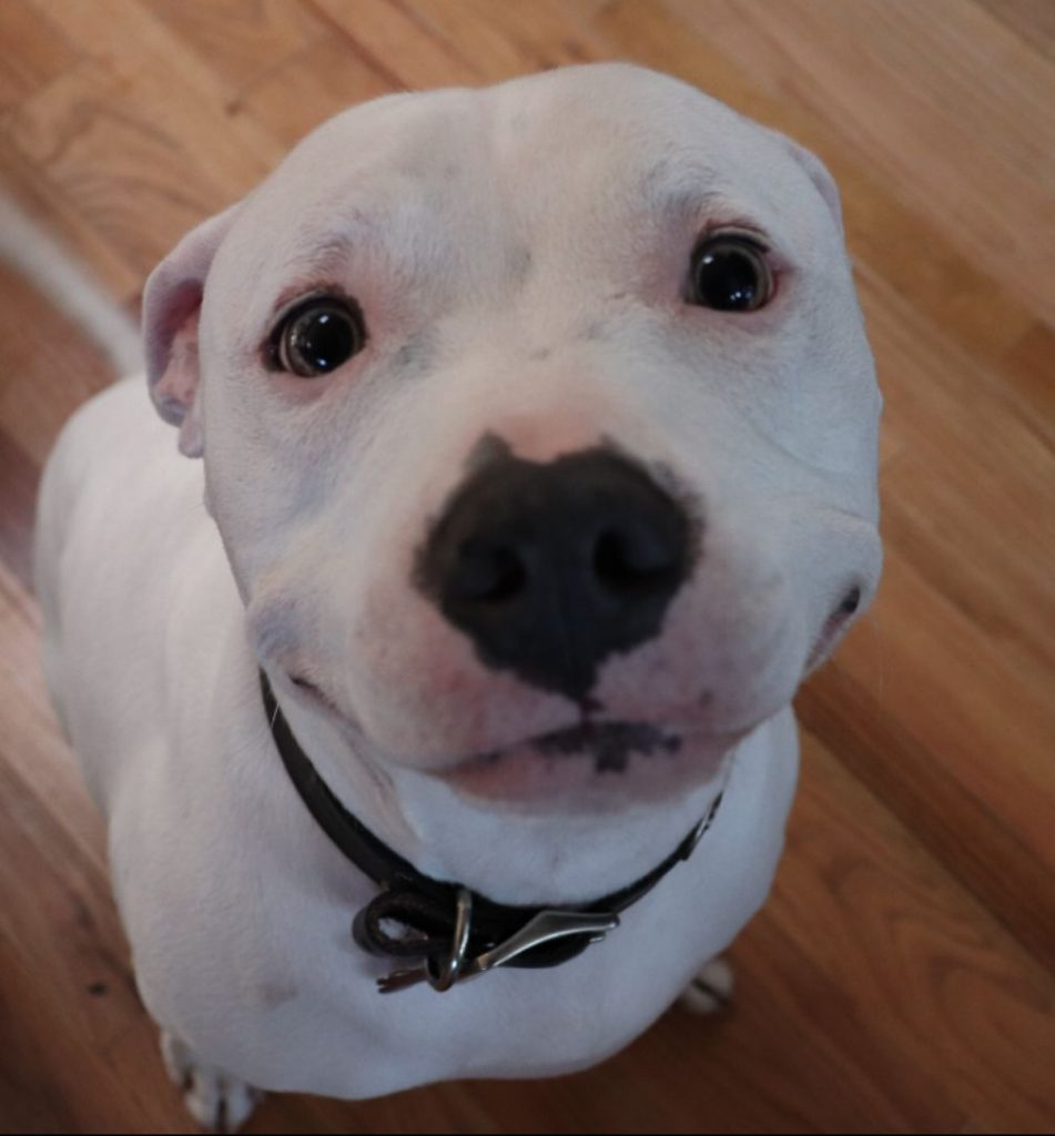 Jordan the pit bull smiles because his mom is home.